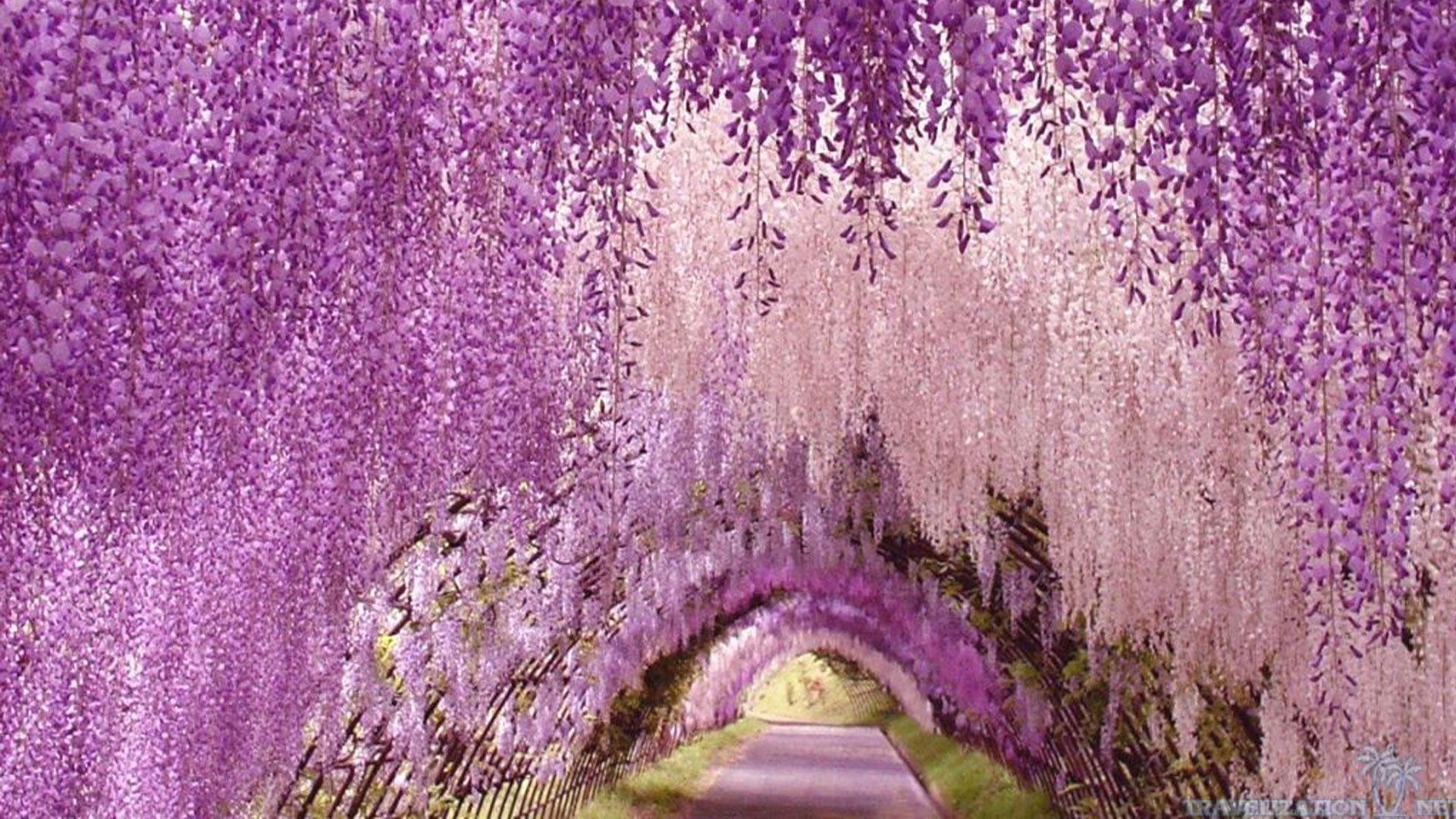 Wisteria wallpapers wallpaper cave Wisteria flower tunnel path in japan