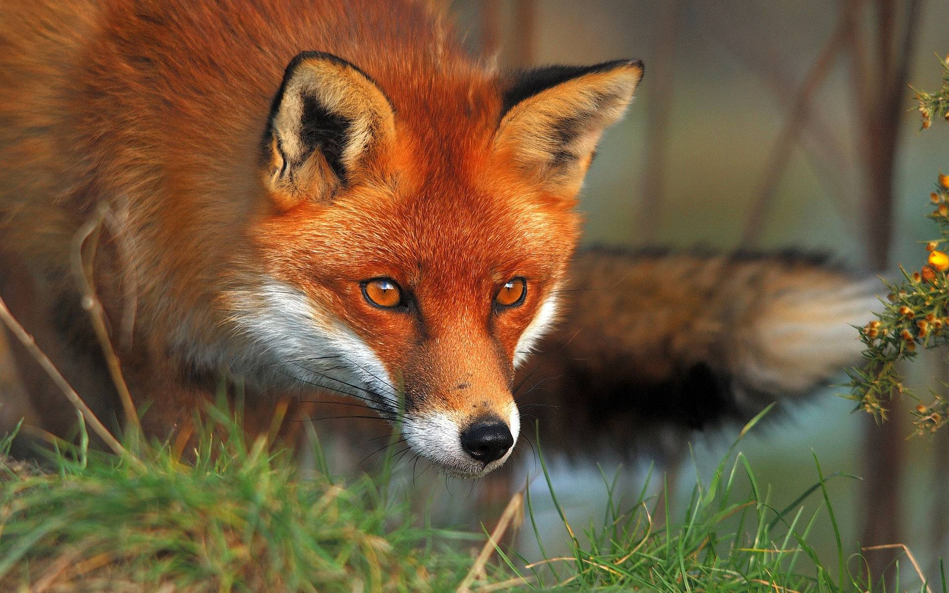 Red Fox Wallpapers - CNSouP Collections