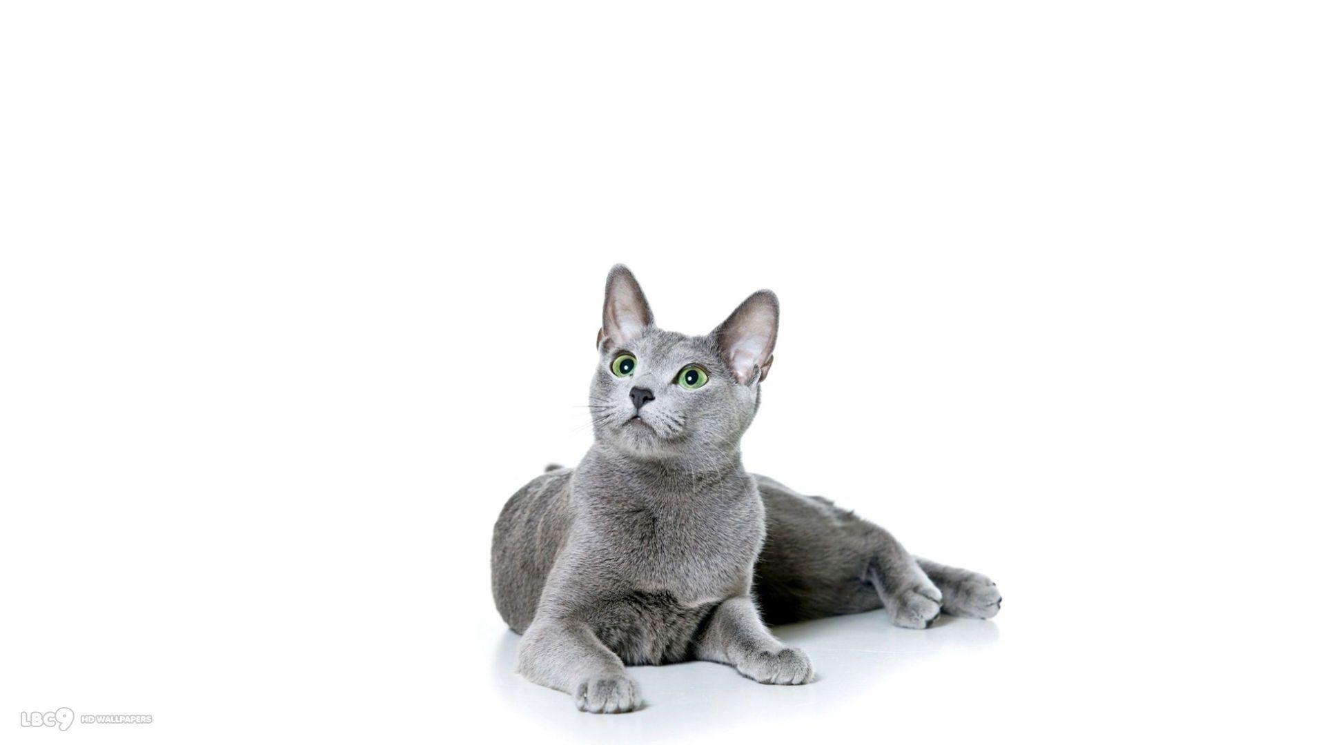 Cat White Backgrounds - Wallpaper Cave   White Cats Blue Background
