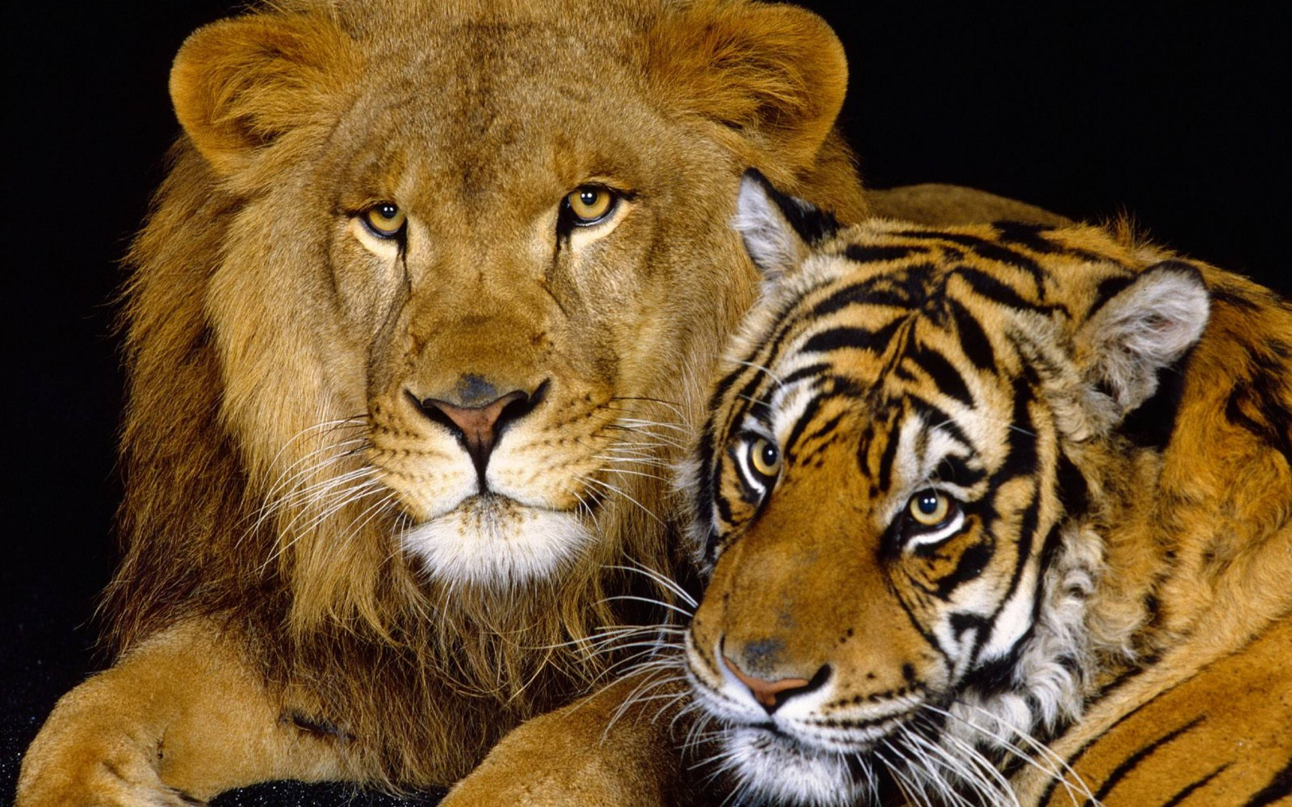 Lions Wallpaper Para Lion Wallpaper Lions Wallpaper And Animal o