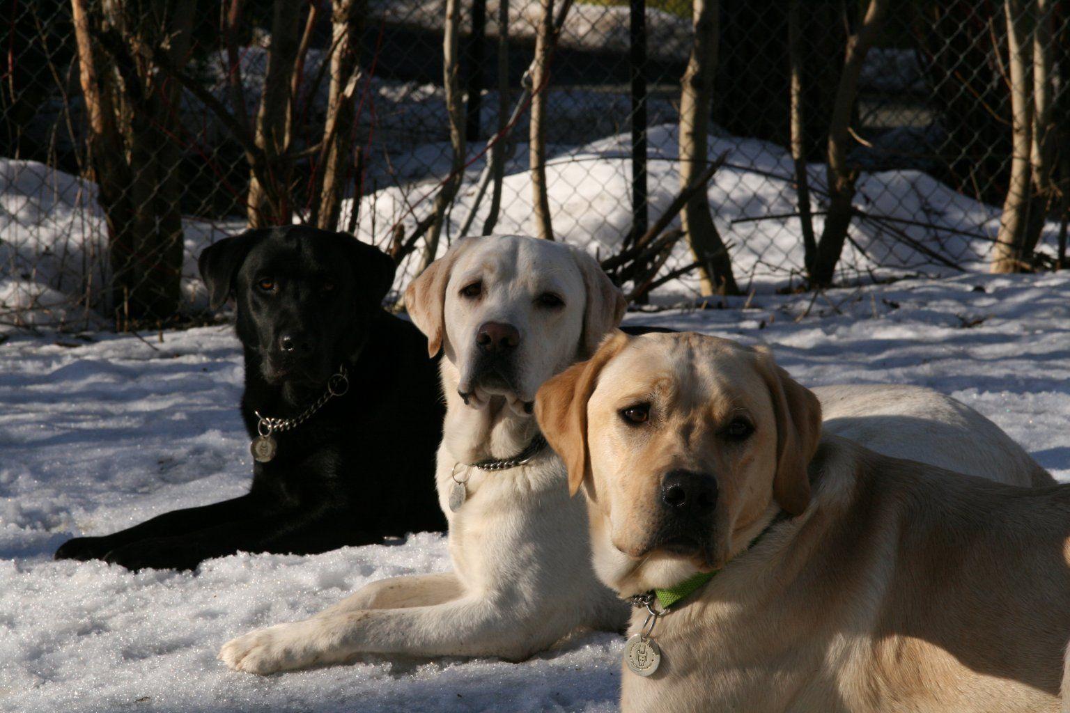 Labrador (Lab) Retriever Wallpaper, Puppy Pictures, Breed Info ...