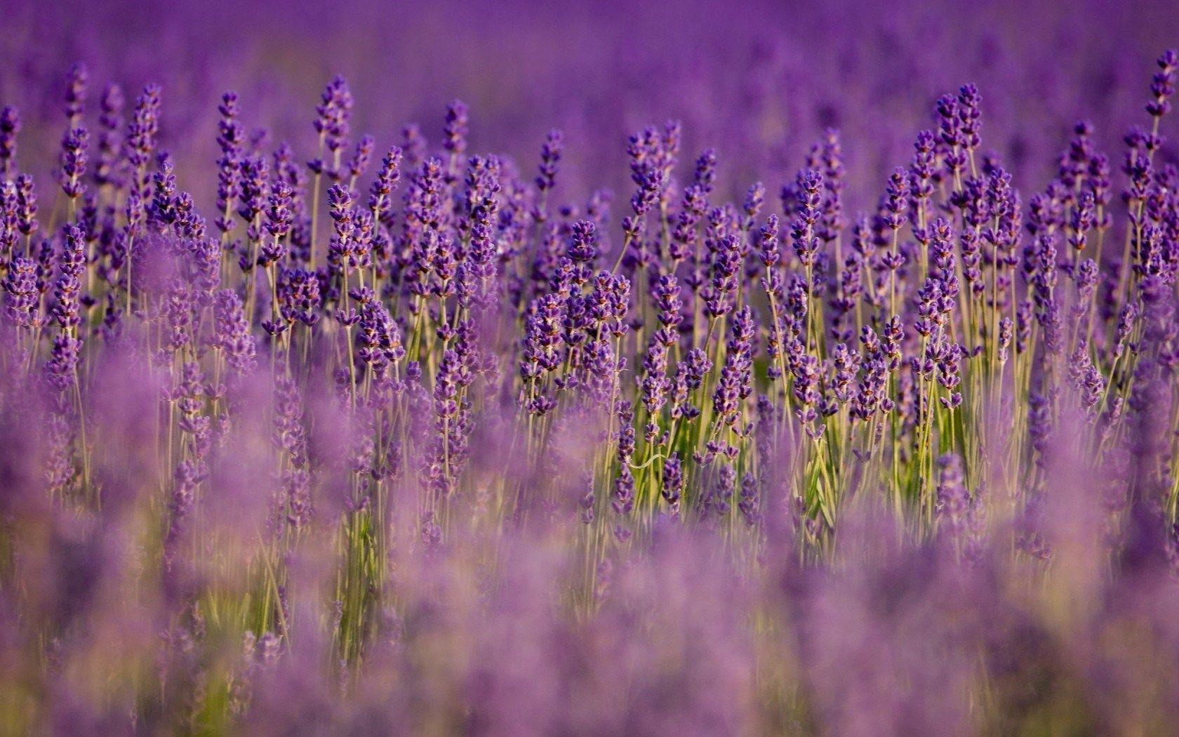 lavender field hd desktop - photo #20