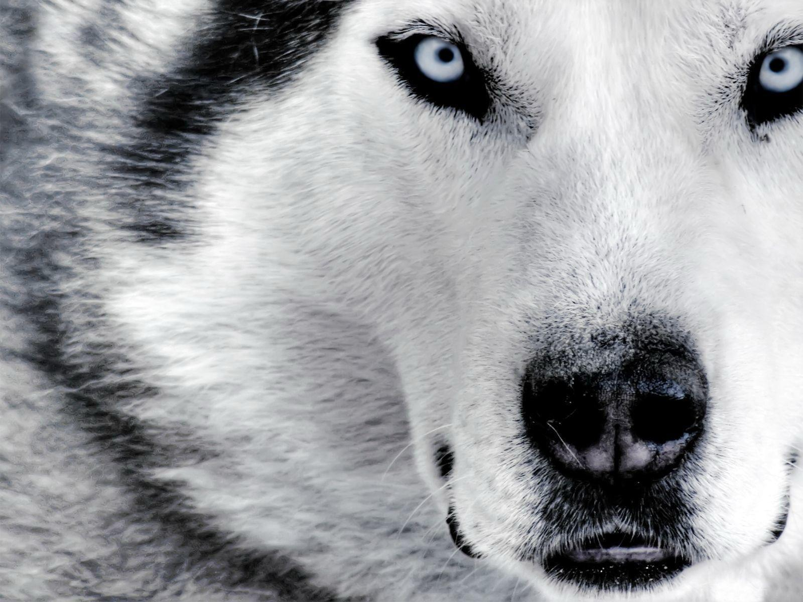 Image result for beautiful wolf