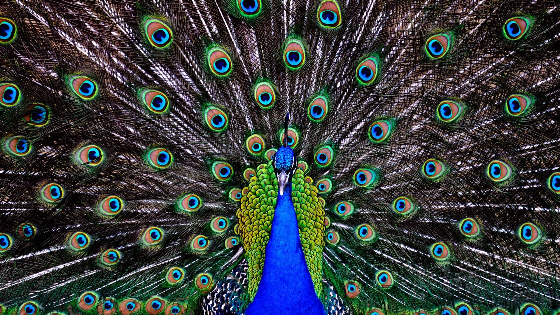 Peacock Feather Desktop Wallpaper Peacock Wallpap...