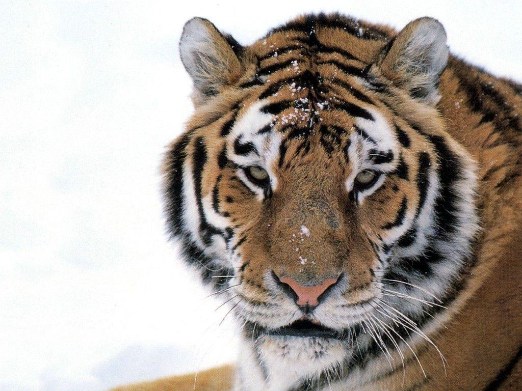 Baby siberian tiger wallpaper - photo#1