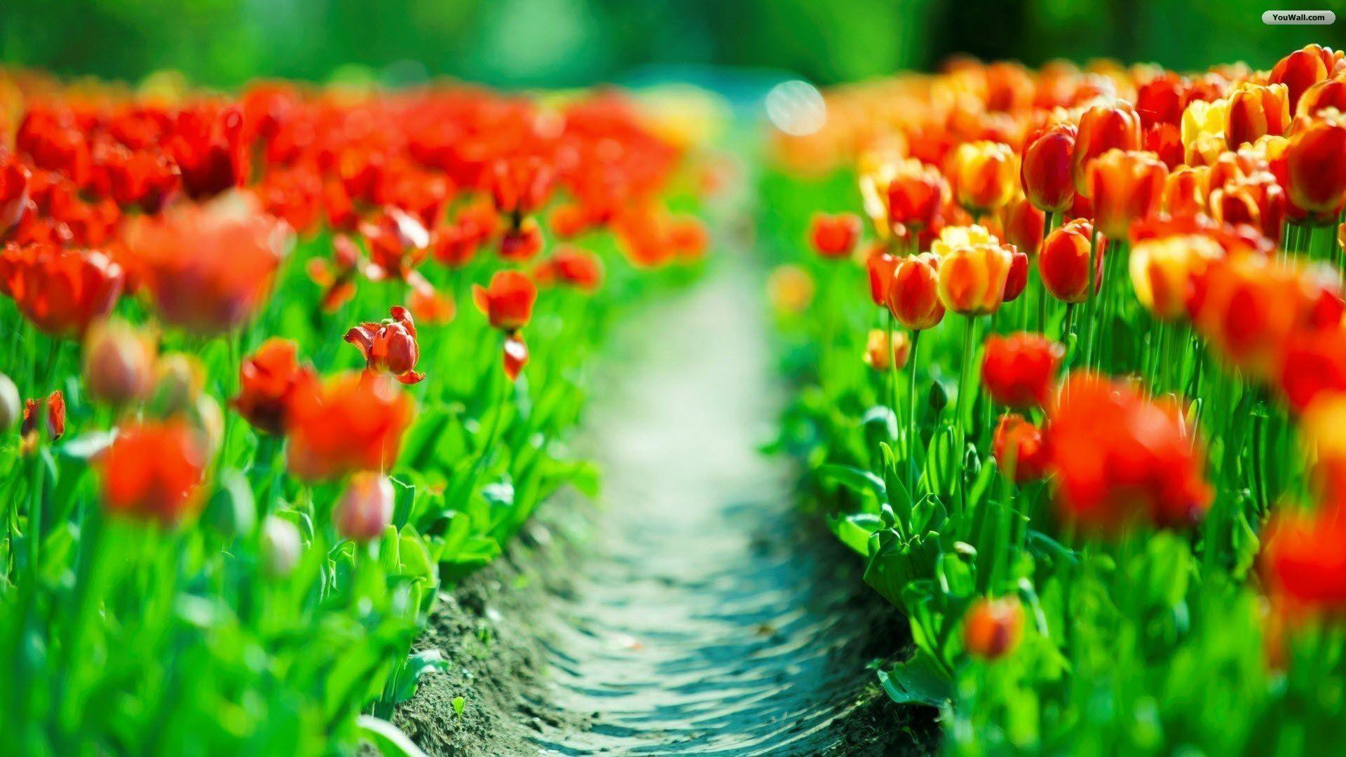 White Tulips Wallpaper - WallpaperSafari