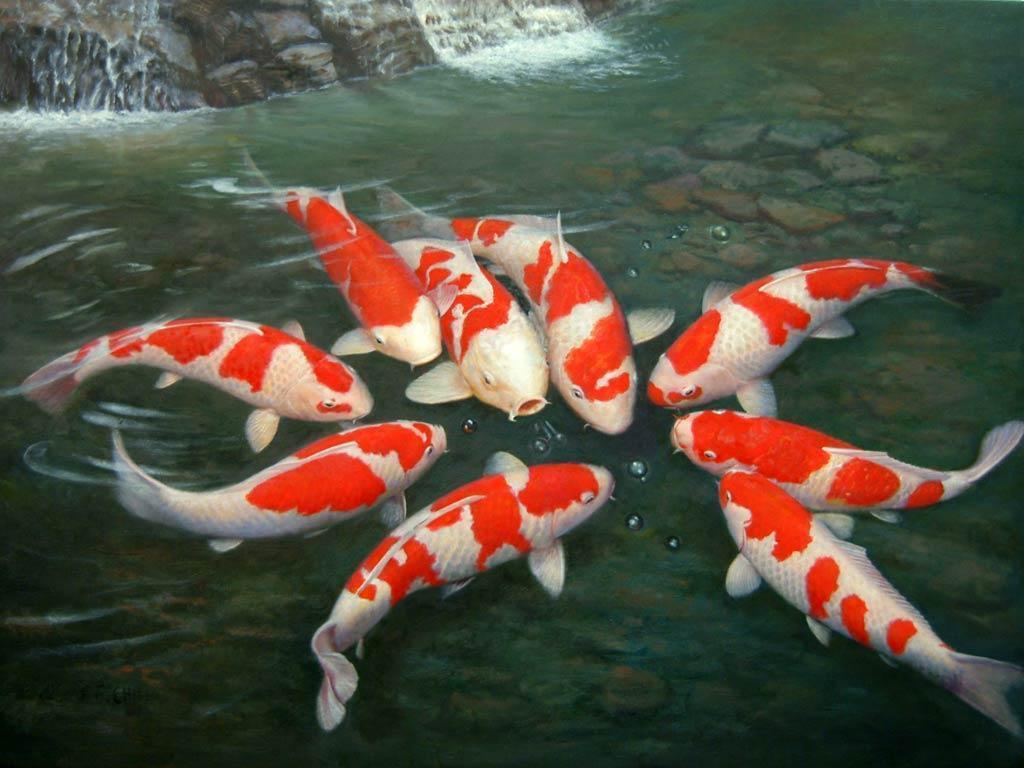 Koi Fish Wallpapers - Wallpaper Cave