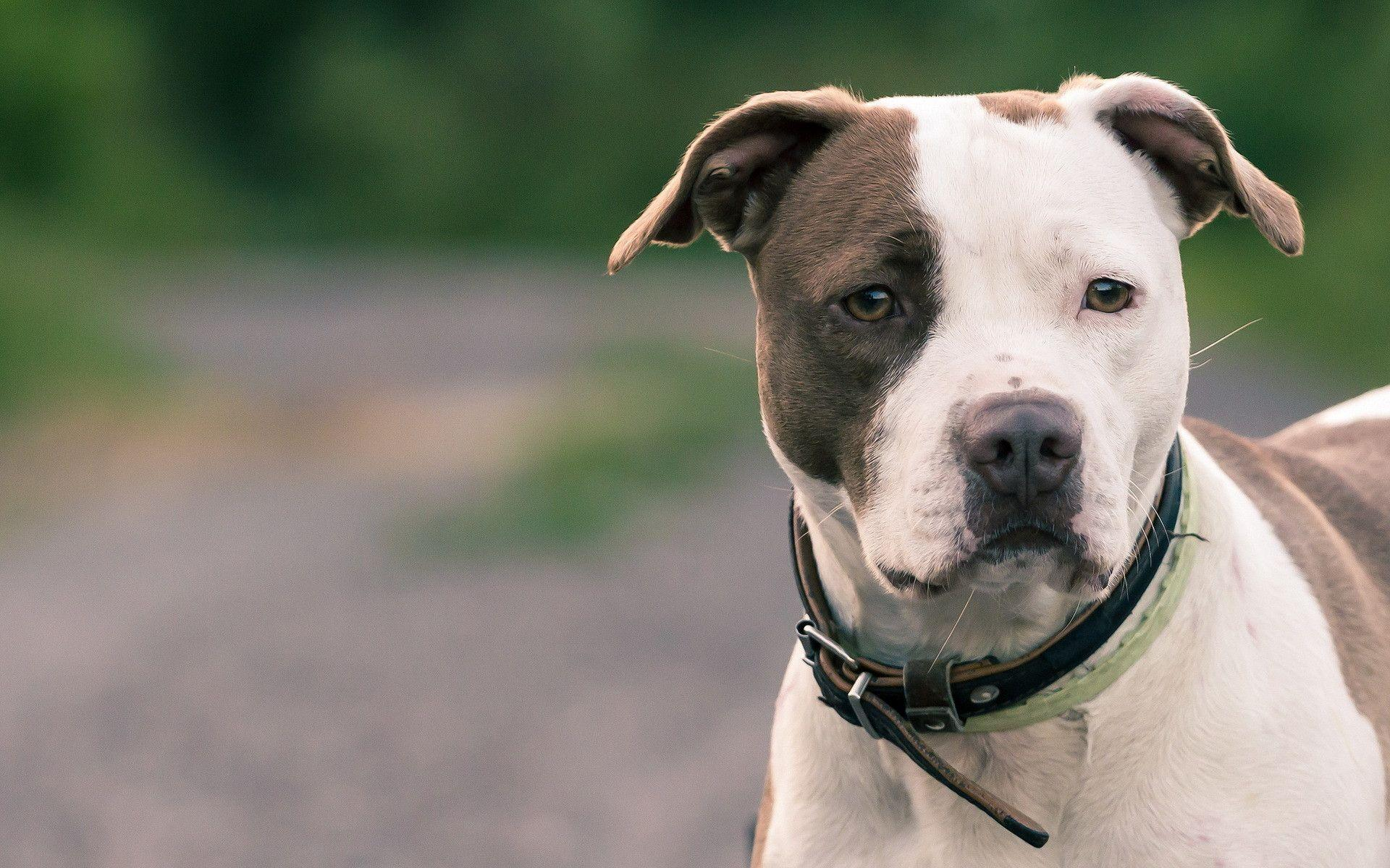 2 American Pit Bull Terrier Wallpapers