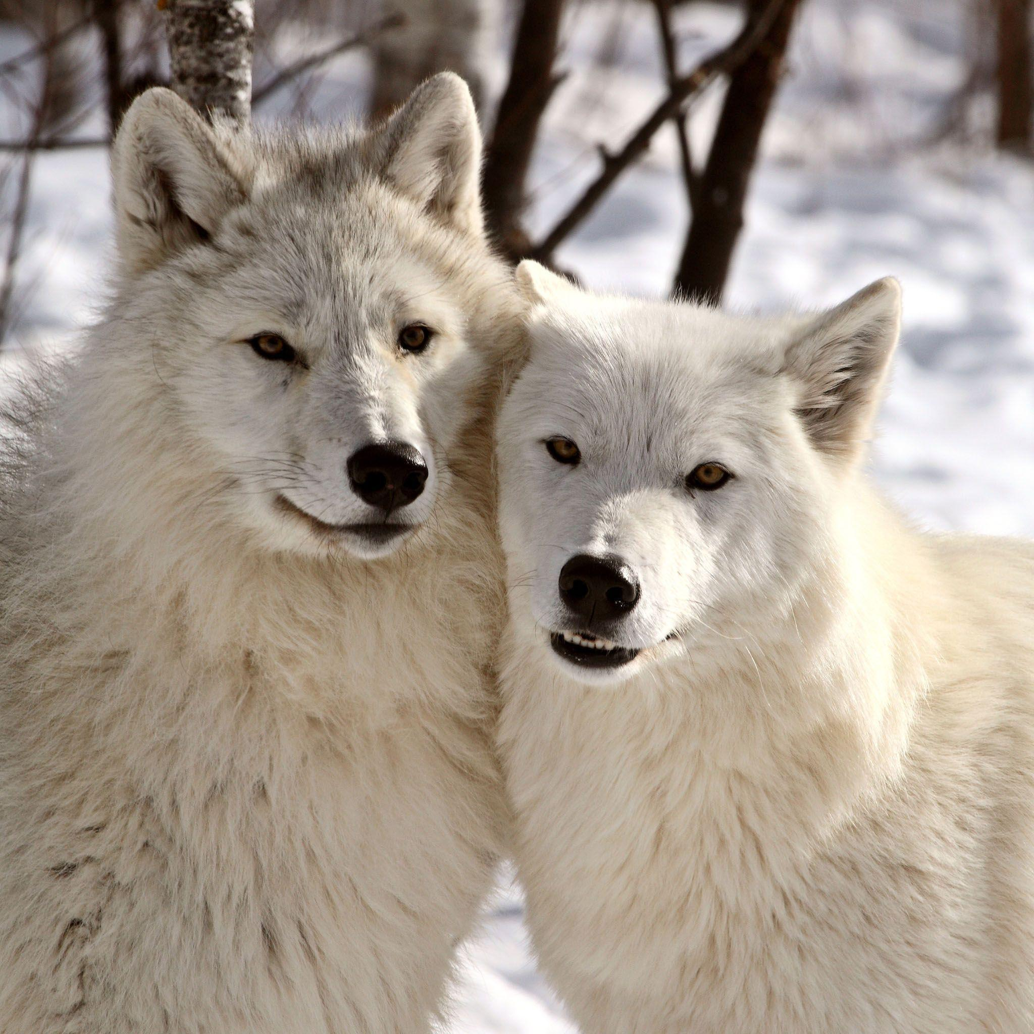 Arctic Wolf Wallpapers - Wallpaper Cave