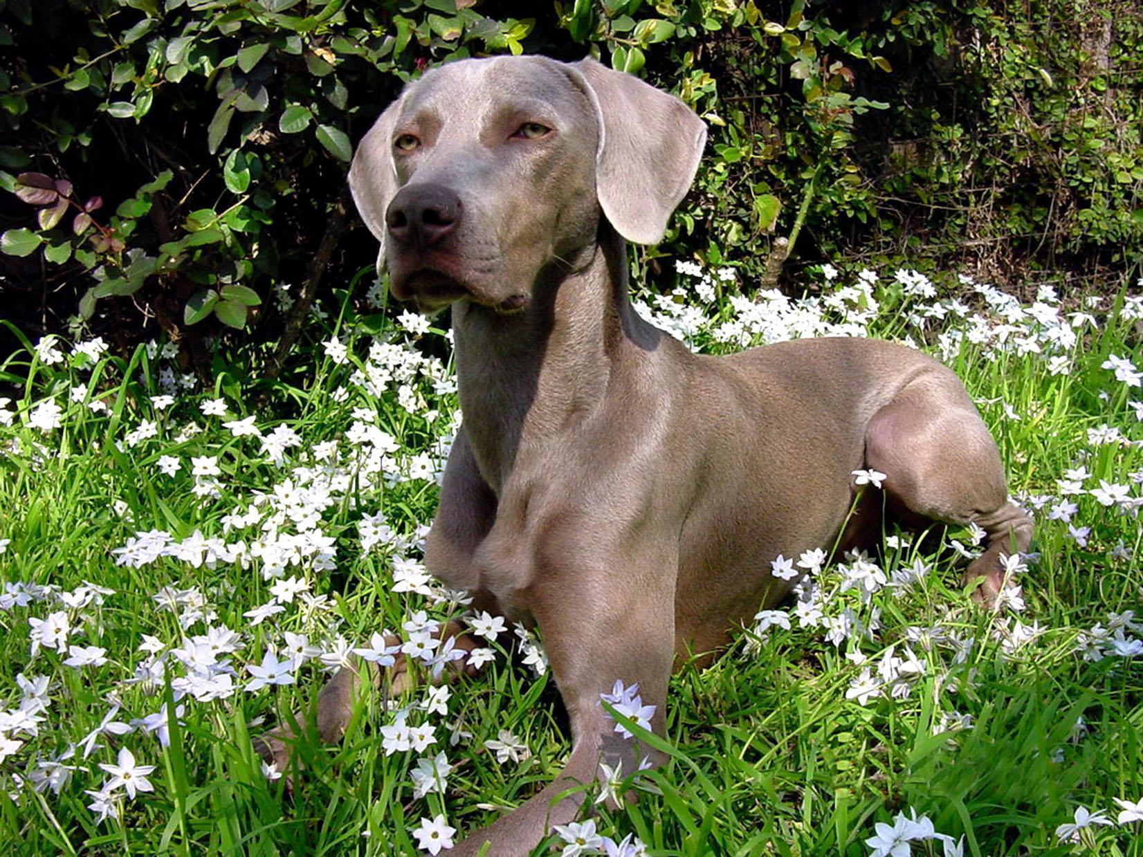 Weimaraner Wallpapers - Wallpaper Cave