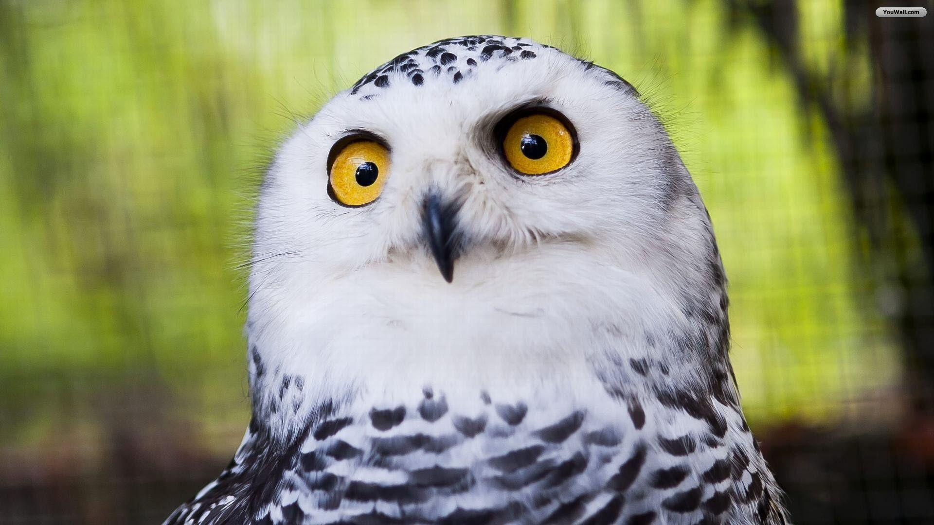 Image Result For Snowy Owls Pictures Hd Wallpaper