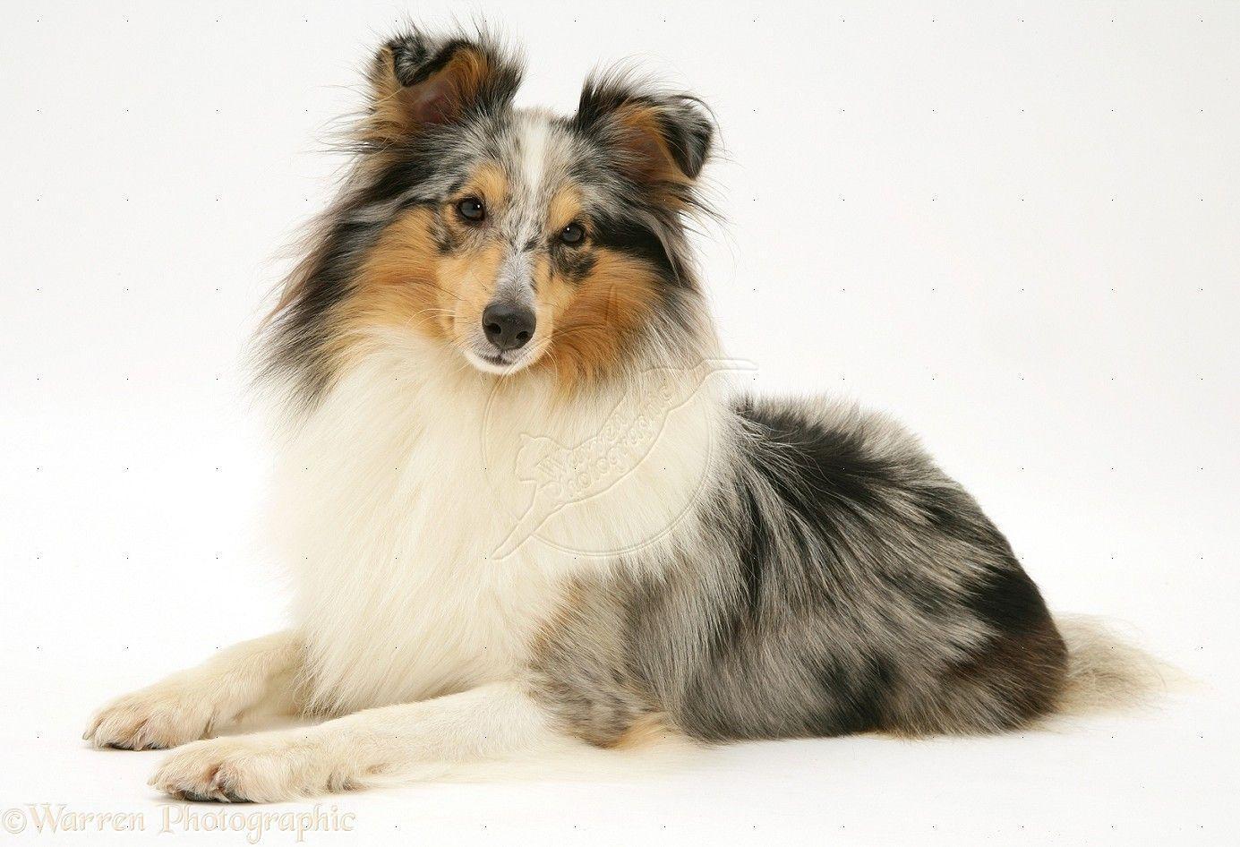 cute pomeranian puppy wallpaper