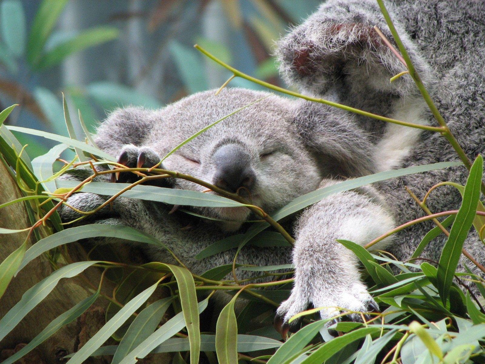 Download Koala Wallpaper 12963 1600x1200 px High Resolution ...