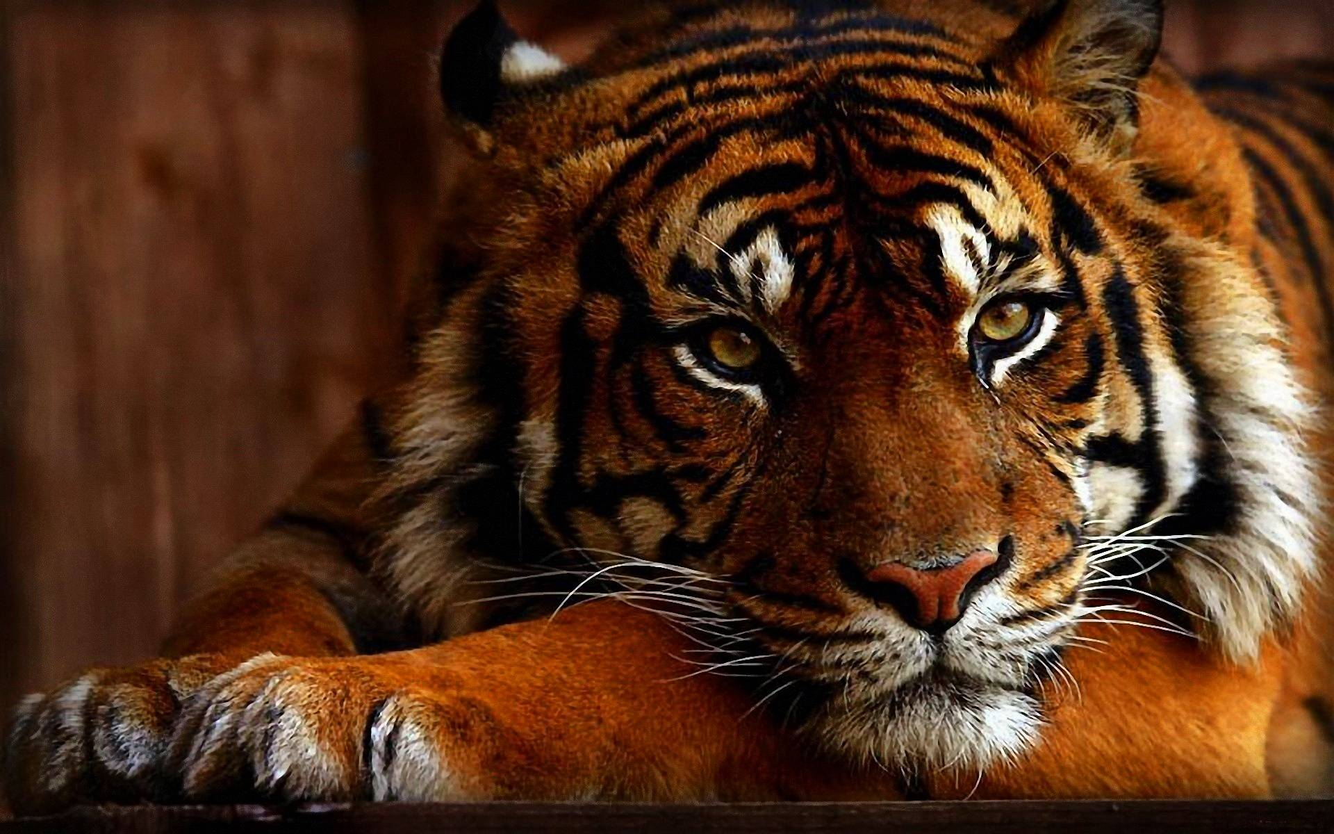 Wallpaper HD Tiger 73 172042 High Definition Wallpapers  wallalay.