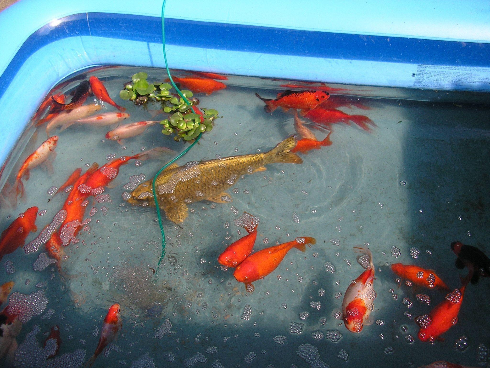 Koi pond wallpapers wallpaper cave for Koi fish pond care