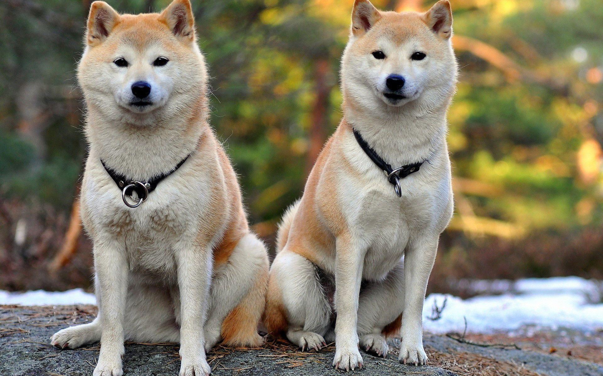 baby and shiba inu wallpaper - photo #33