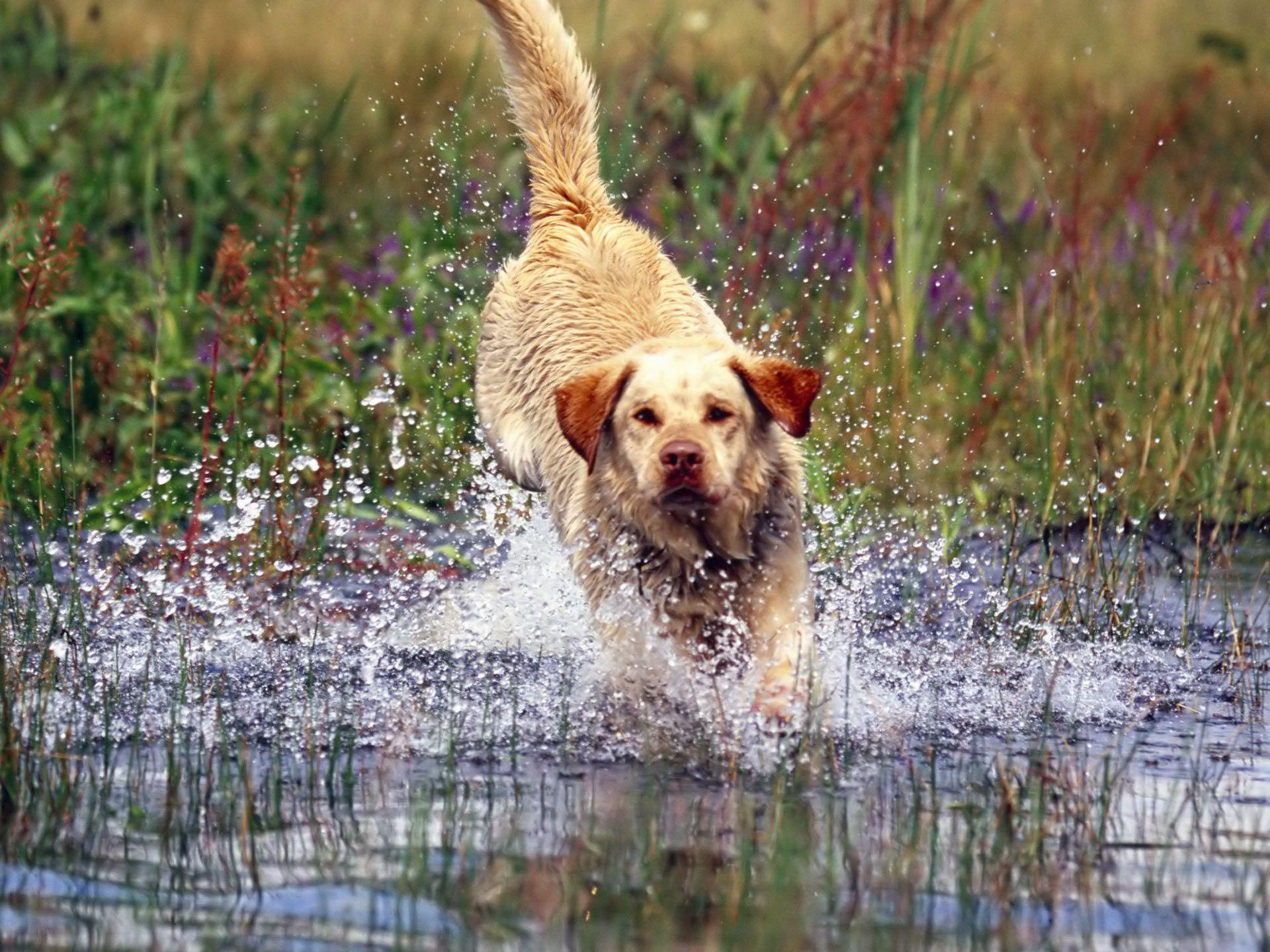 Yellow Lab Wallpapers Wallpaper Cave