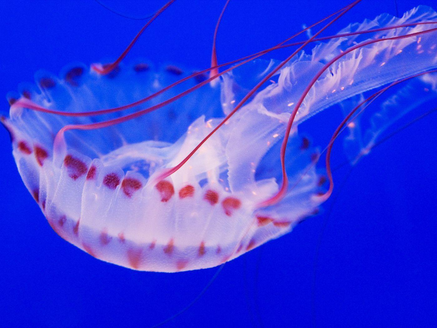 full hd wallpaper jellyfish - photo #16