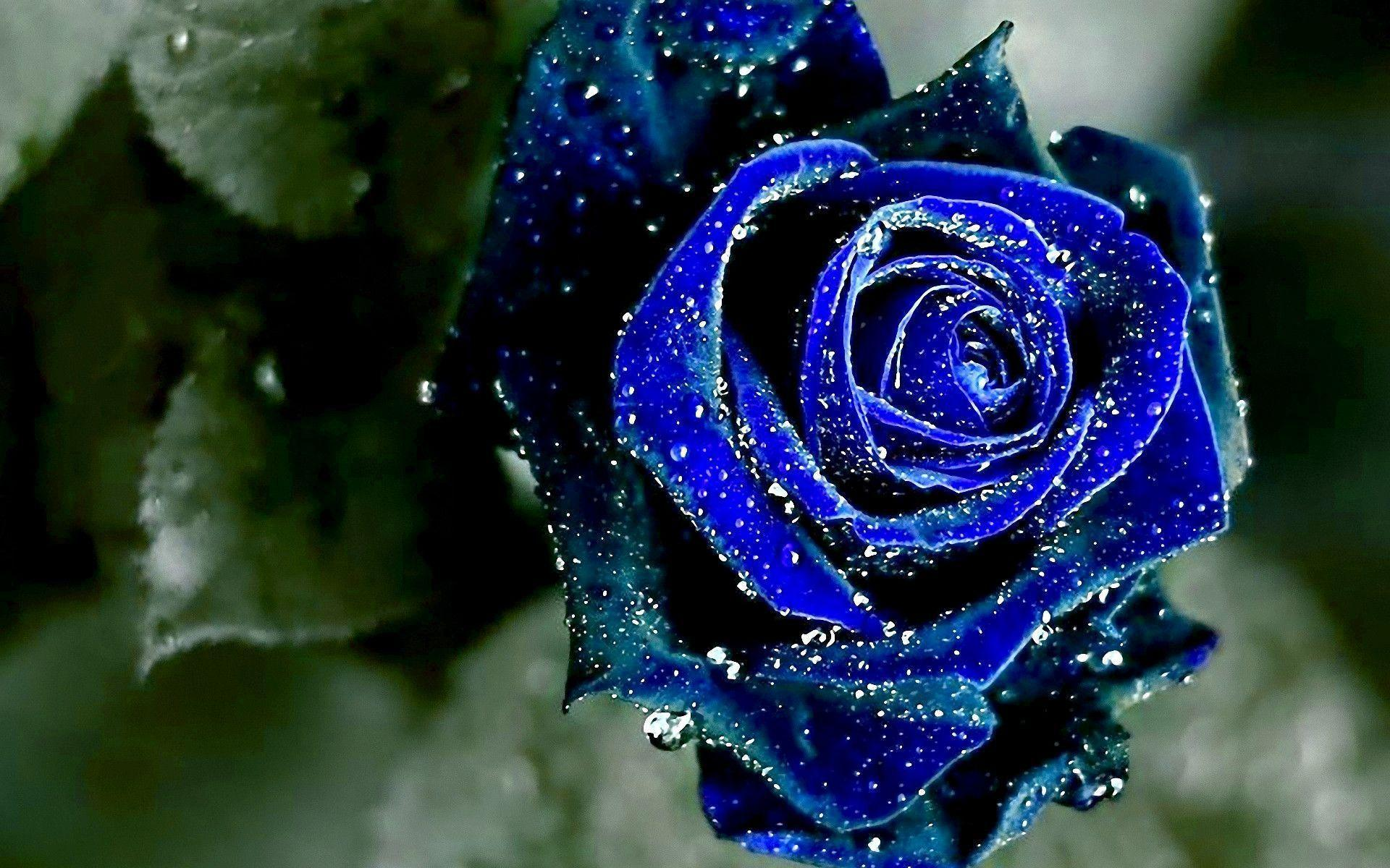 Blue Rose Wallpapers Wallpaper Cave