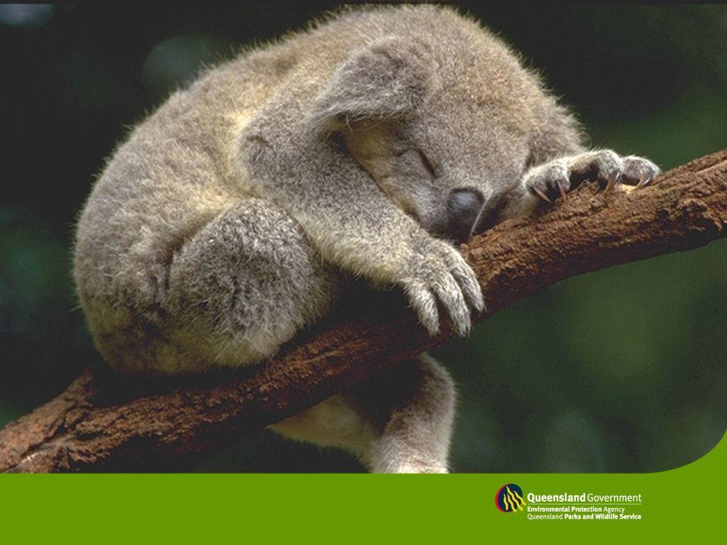 sleeping koala wallpaper - Animal Backgrounds