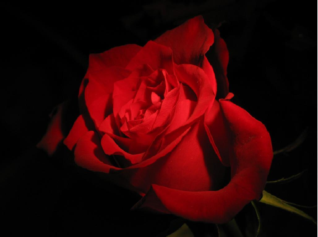 Red Rose On Black Backgrounds Wallpaper Cave