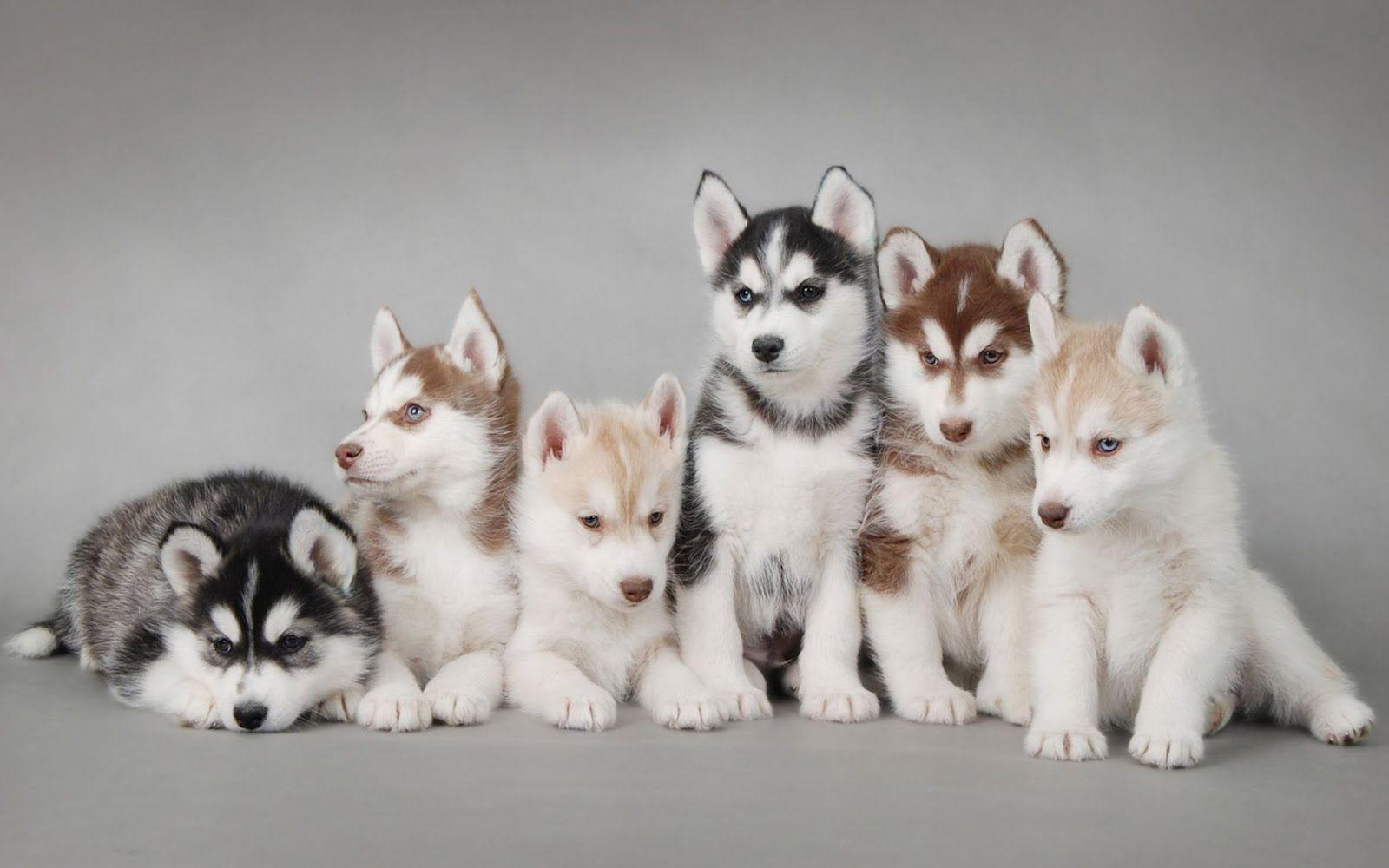 red husky puppy wallpaper - photo #2