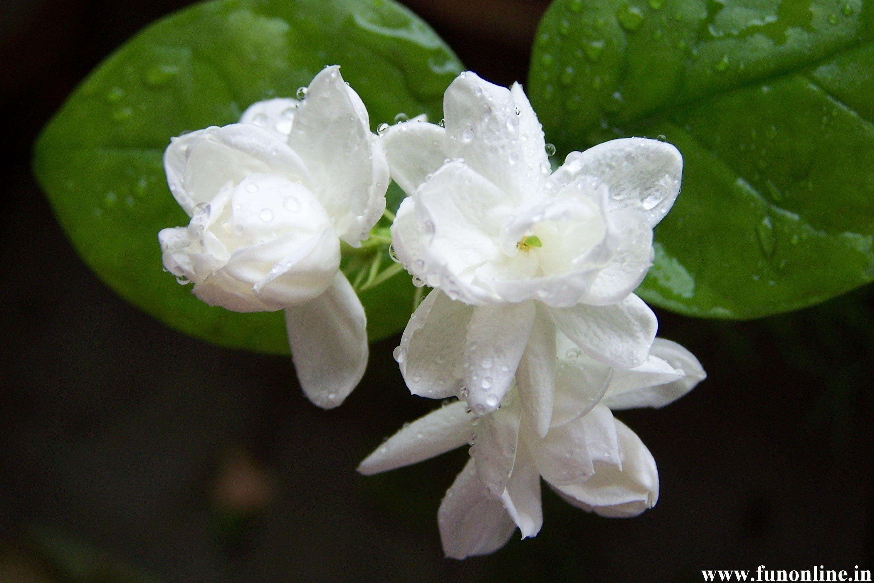 Jasmine flowers pictures
