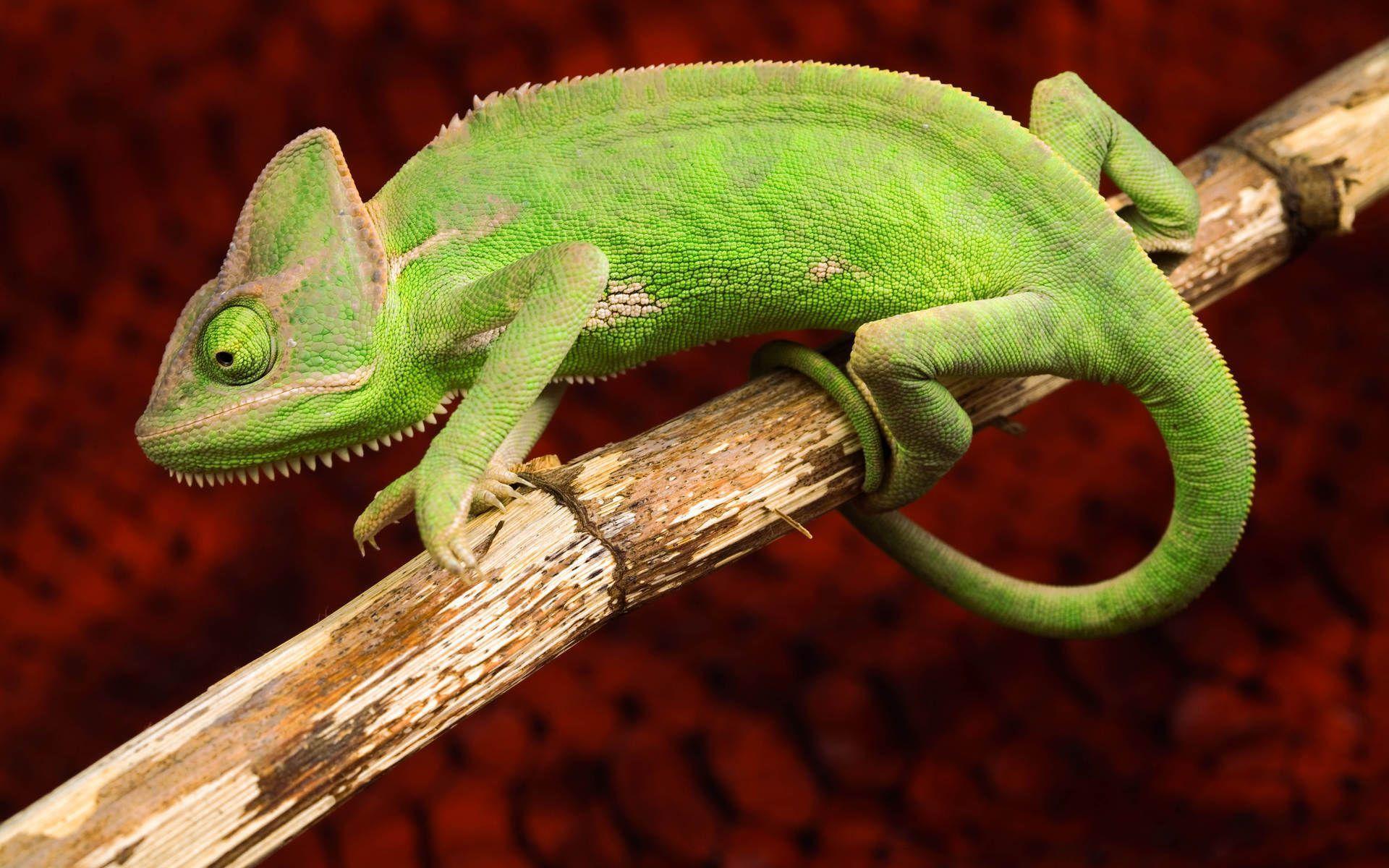 chameleon wallpaper 9661 - photo #18