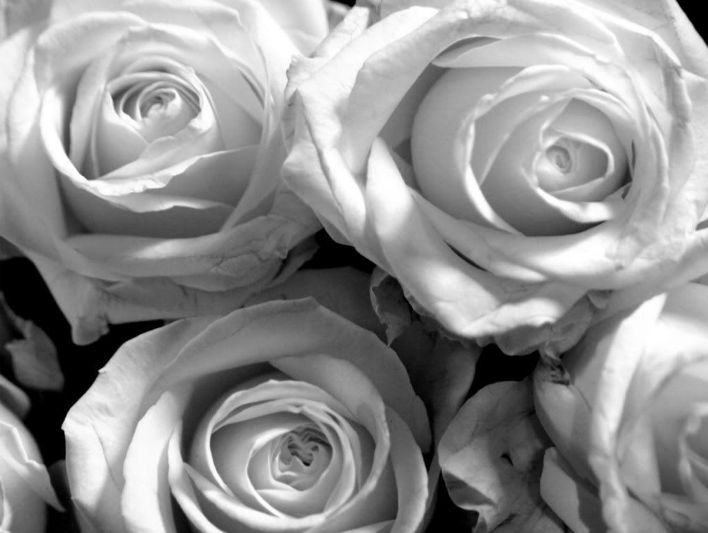 Black Rose White Background White Roses Background...