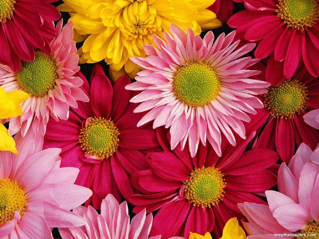 gerbera daisies wallpapers wallpaper cave