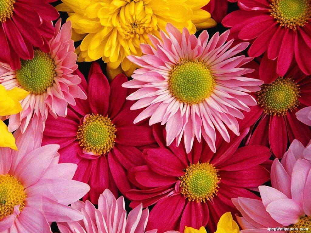 Desktop Wallpapers » Flowers Backgrounds » Gerbera Daisies Red