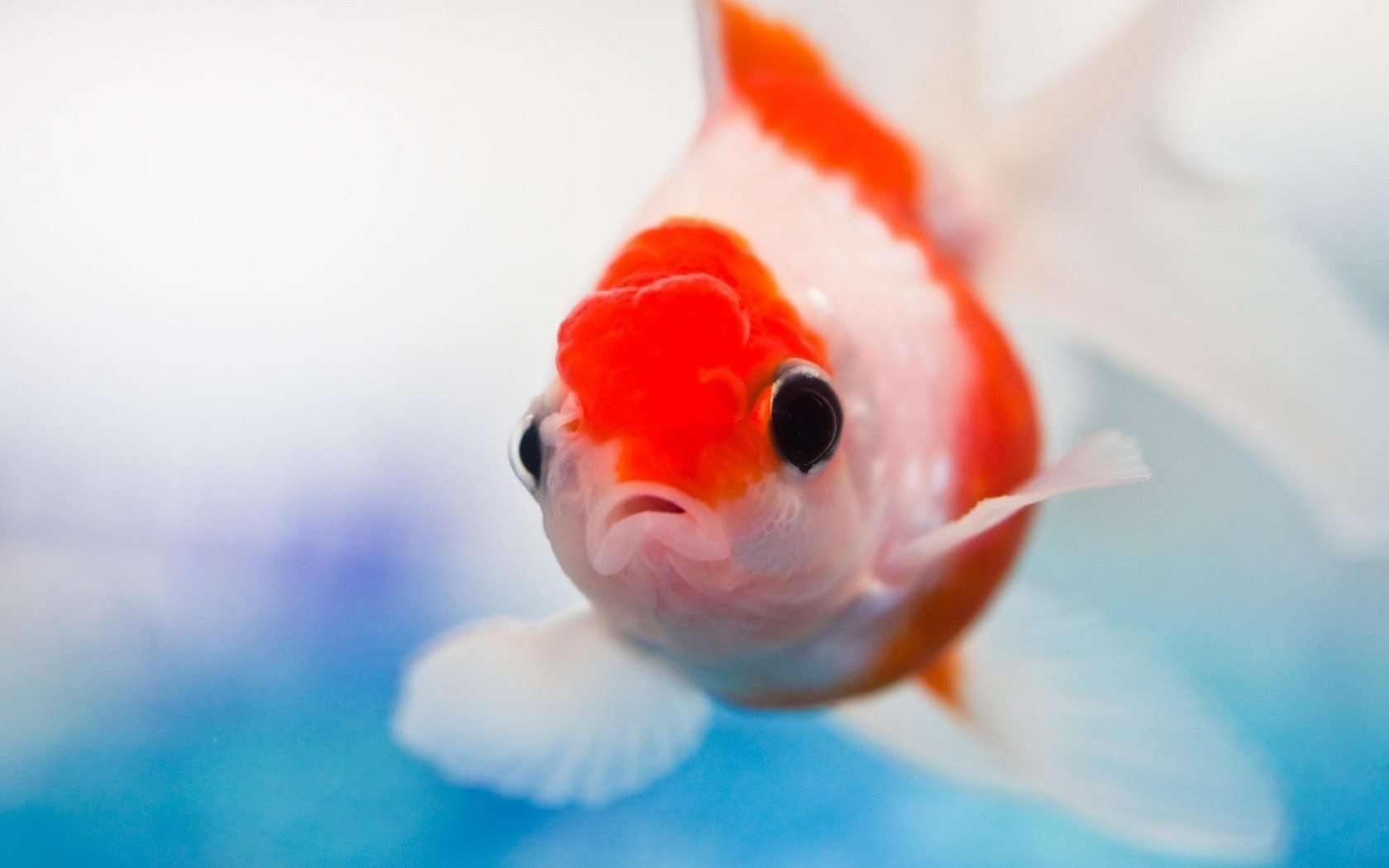 Beautiful Red Fish HD Wallpapers