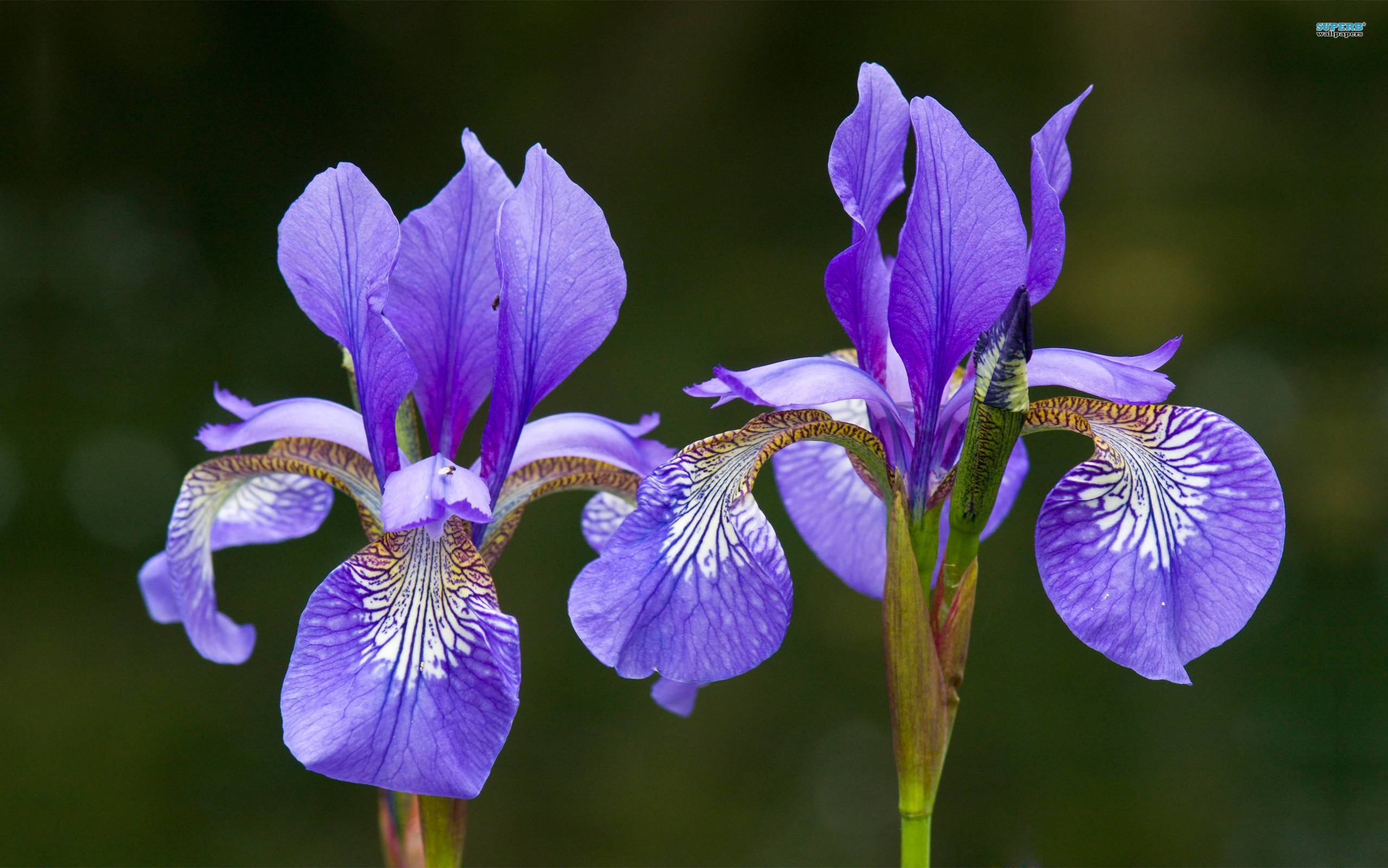 iris wallpapers  wallpaper cave, Beautiful flower
