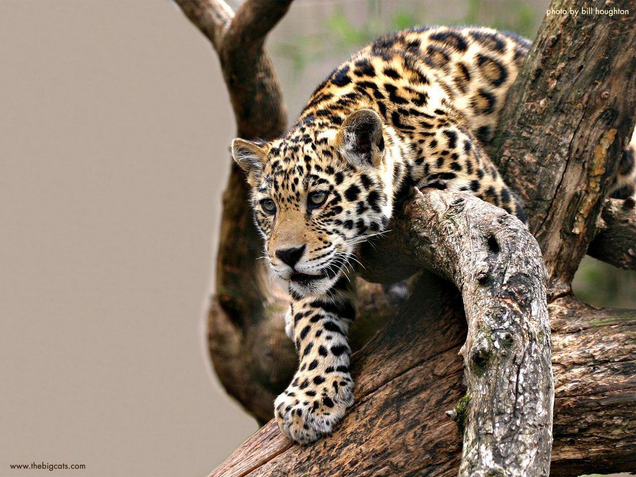 baby cute jaguar wallpaper - photo #24