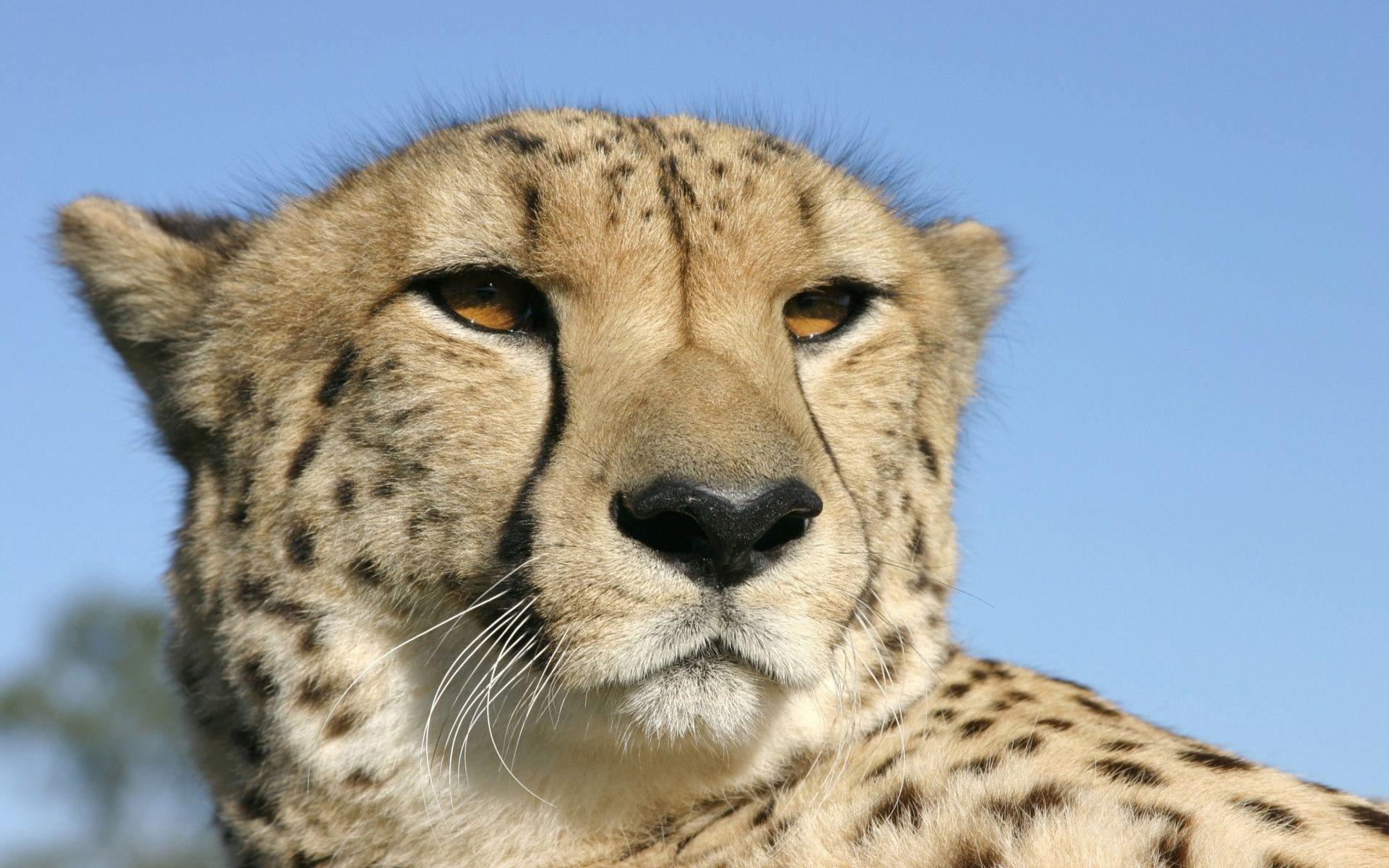 Cheetah | HD Wallpapers