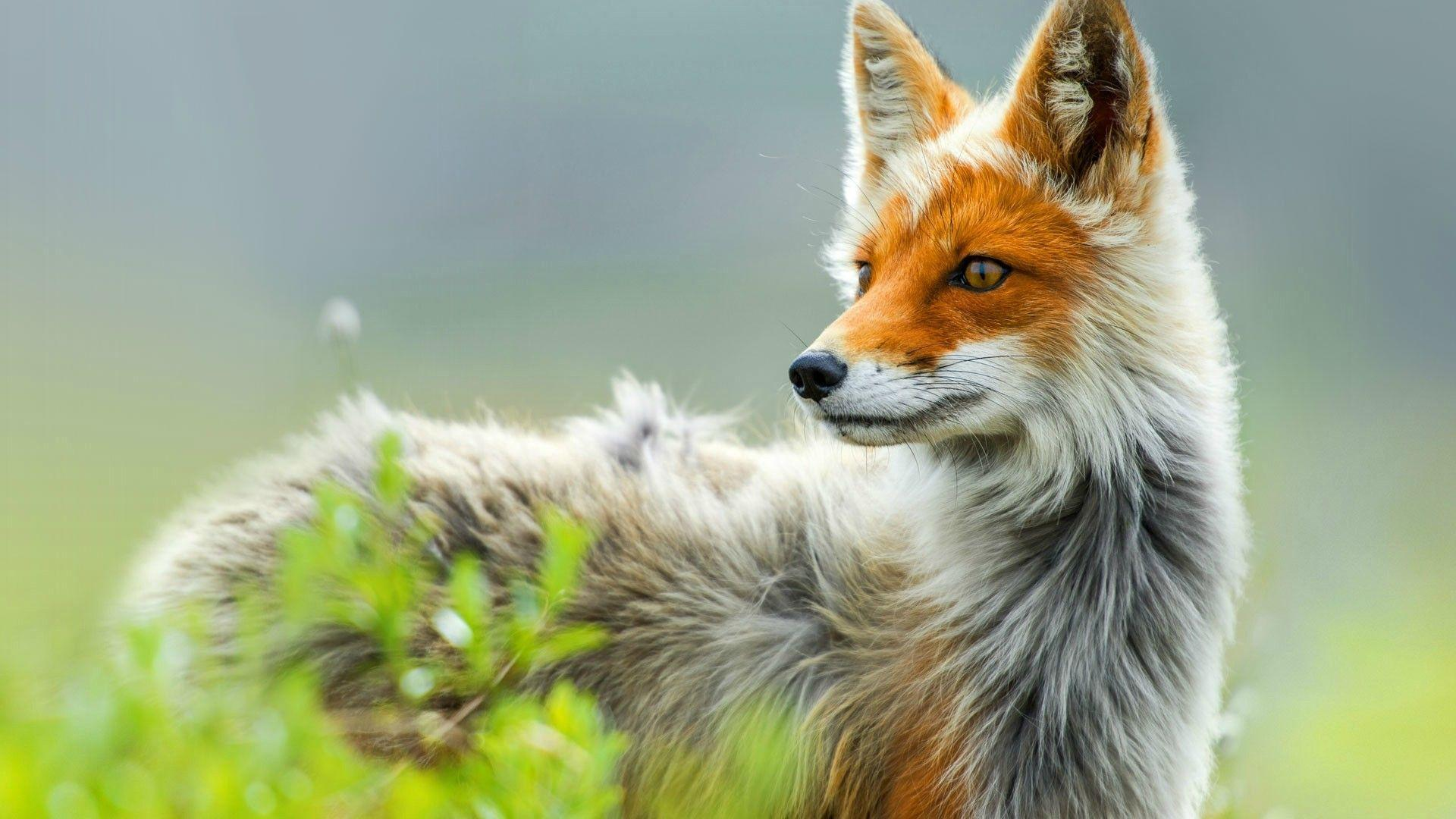 Red fox in Chukotka, Russia — Photo by Ivan Kislov : wallpapers
