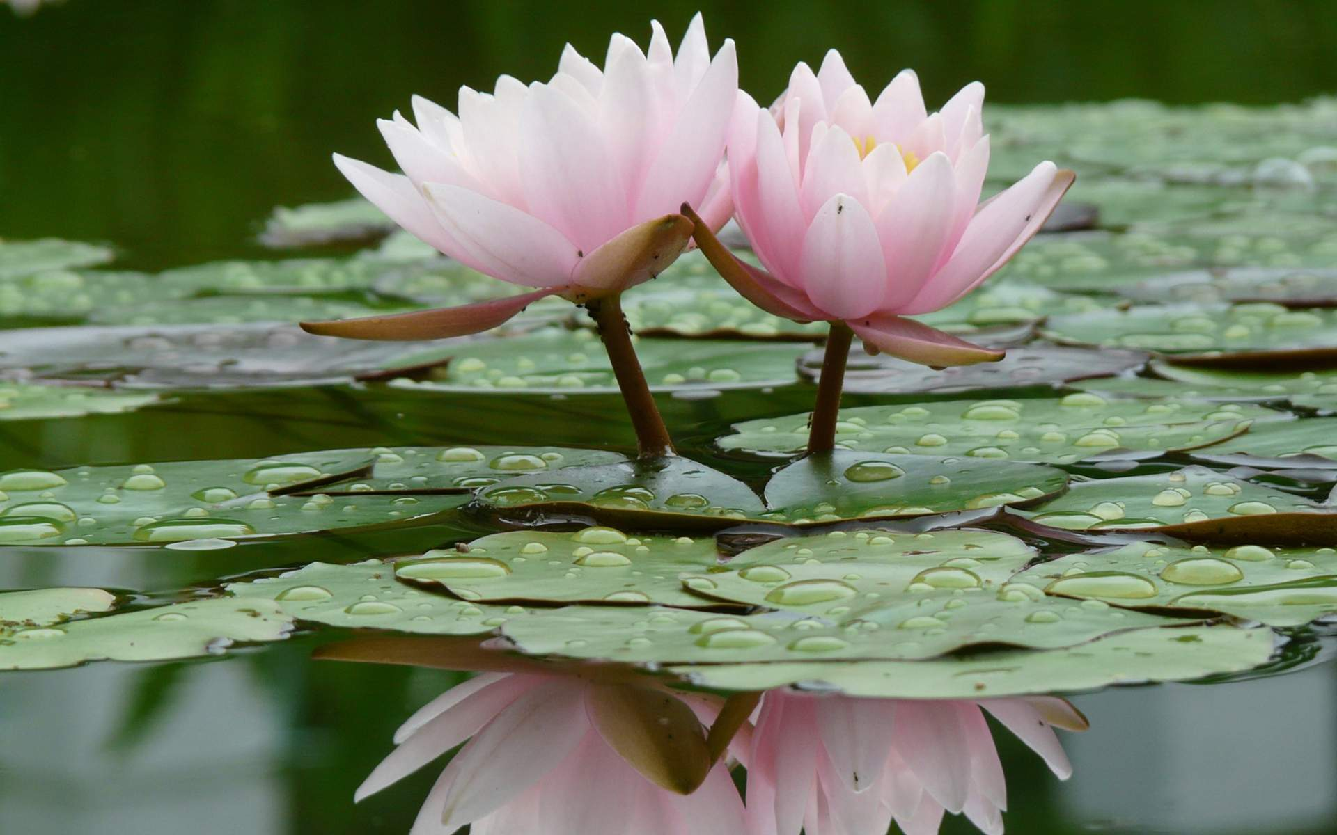 Lotus flower wallpapers wallpaper cave lotus flowers wallpapers full hd wallpaper search izmirmasajfo