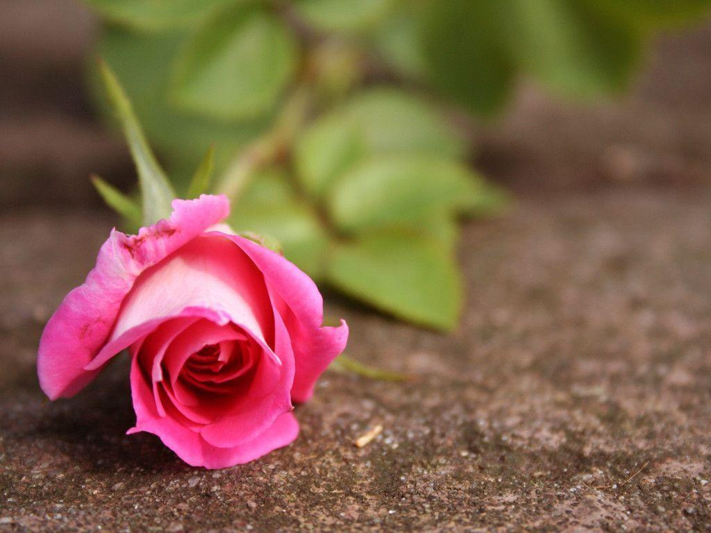 pink rose flower wallpapers wallpaper cave
