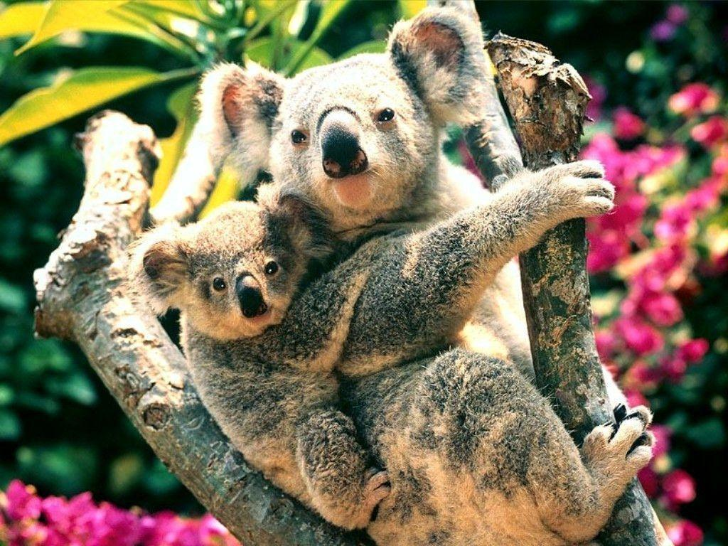 Koala Bear Wallpapers - Wallpaper Cave