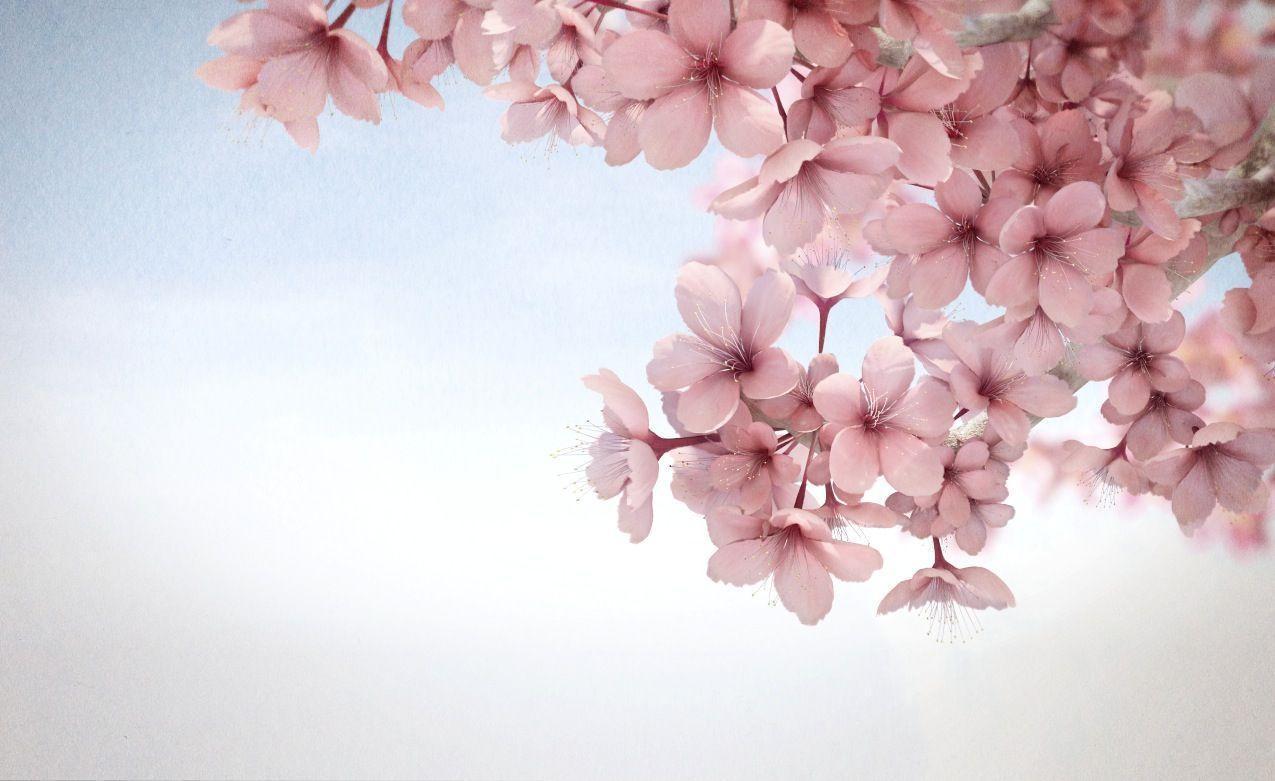 Gambar Bunga Sakura Untuk Wallpaper