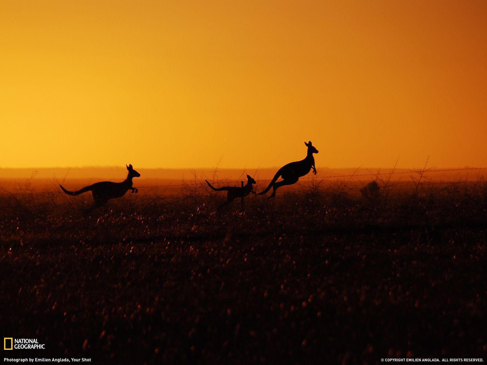 Kangaroo Picture – Animal Wallpaper - National Geographic Photo of ...