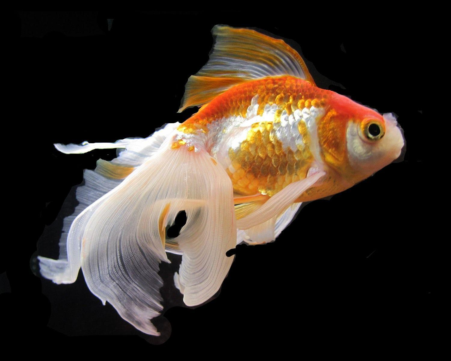 Gold Fishes Photos Goldfish Wallpapers - ...