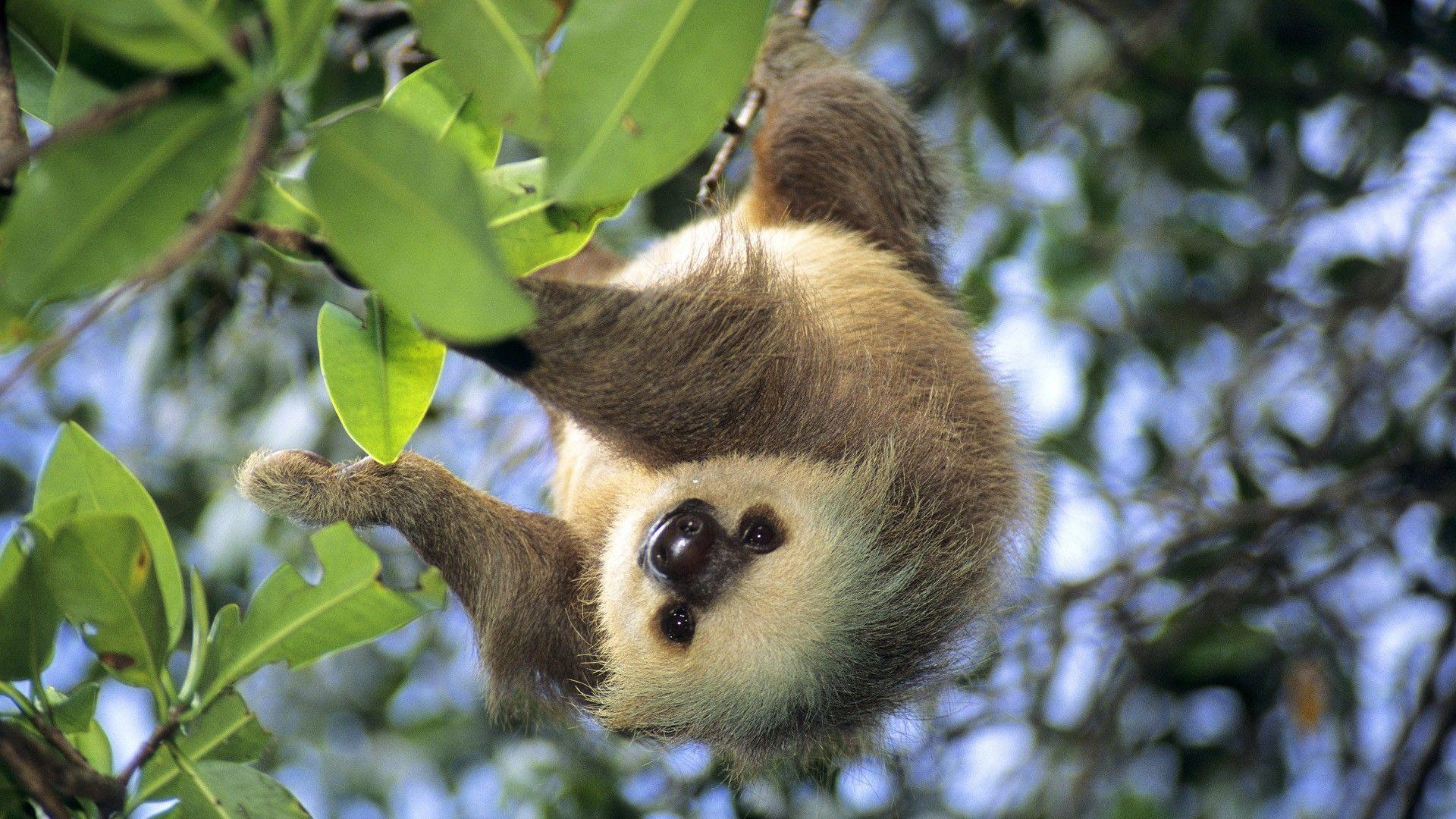Sloth Animal Desktop Wallpapers 24801 High Resolution