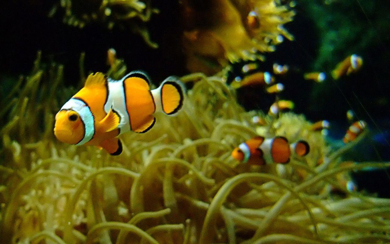 wallpaper clarkii clownfish - photo #9