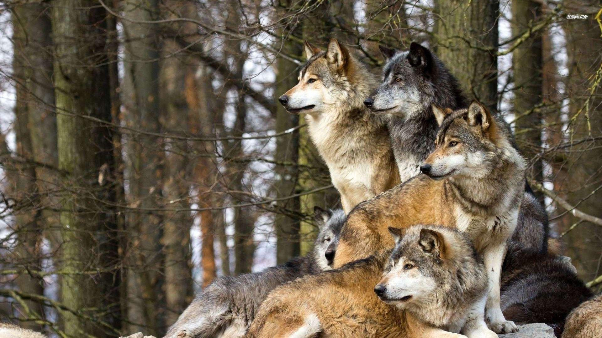 wild wolf pack wallpaper - photo #13