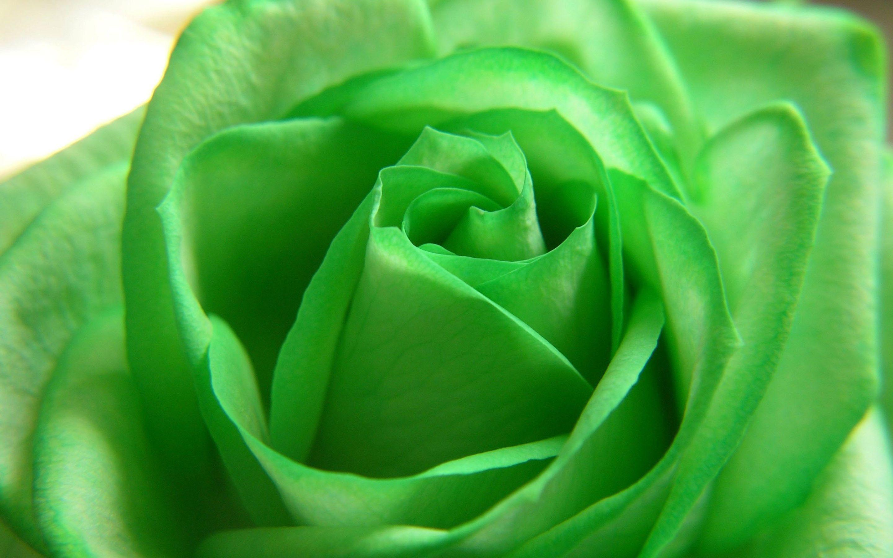 green rose black background - photo #22