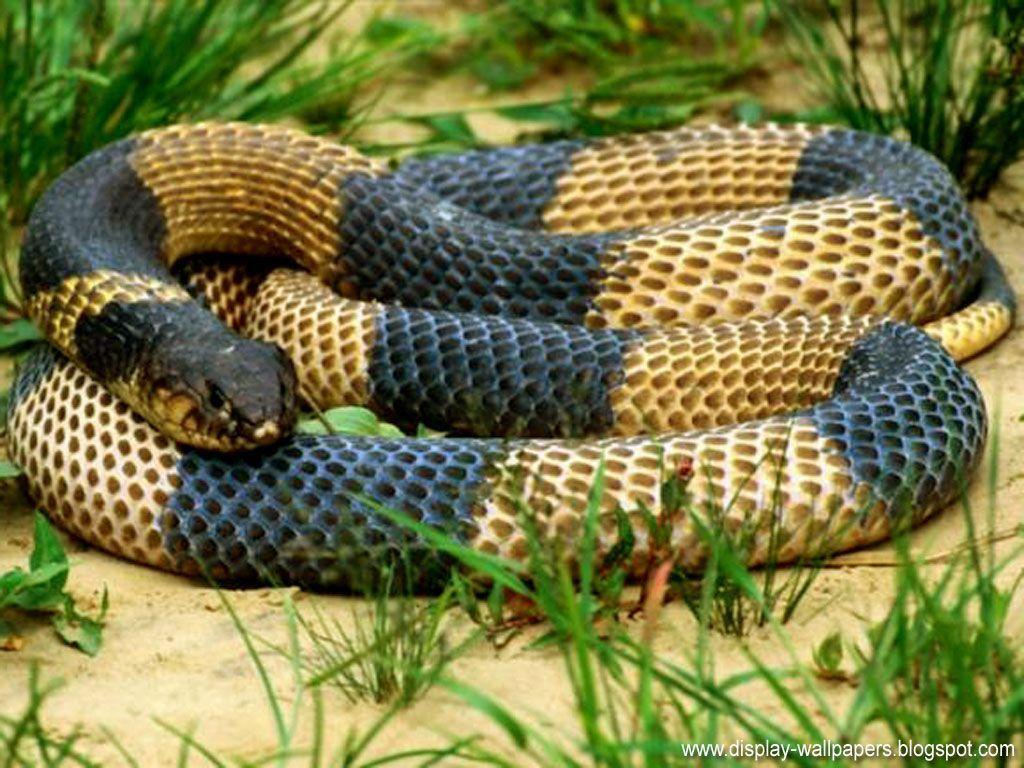 Snake Wallpapers HD - Start Wallpaper