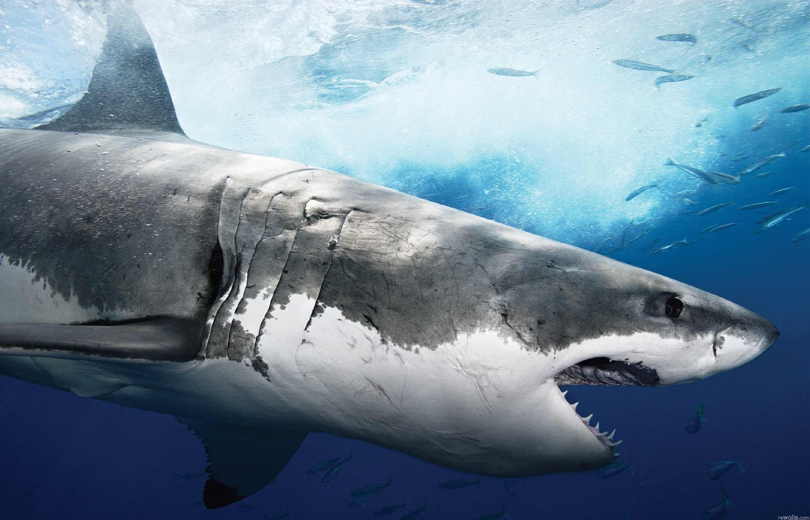 Shark Wallpapers Wallpaper Cave