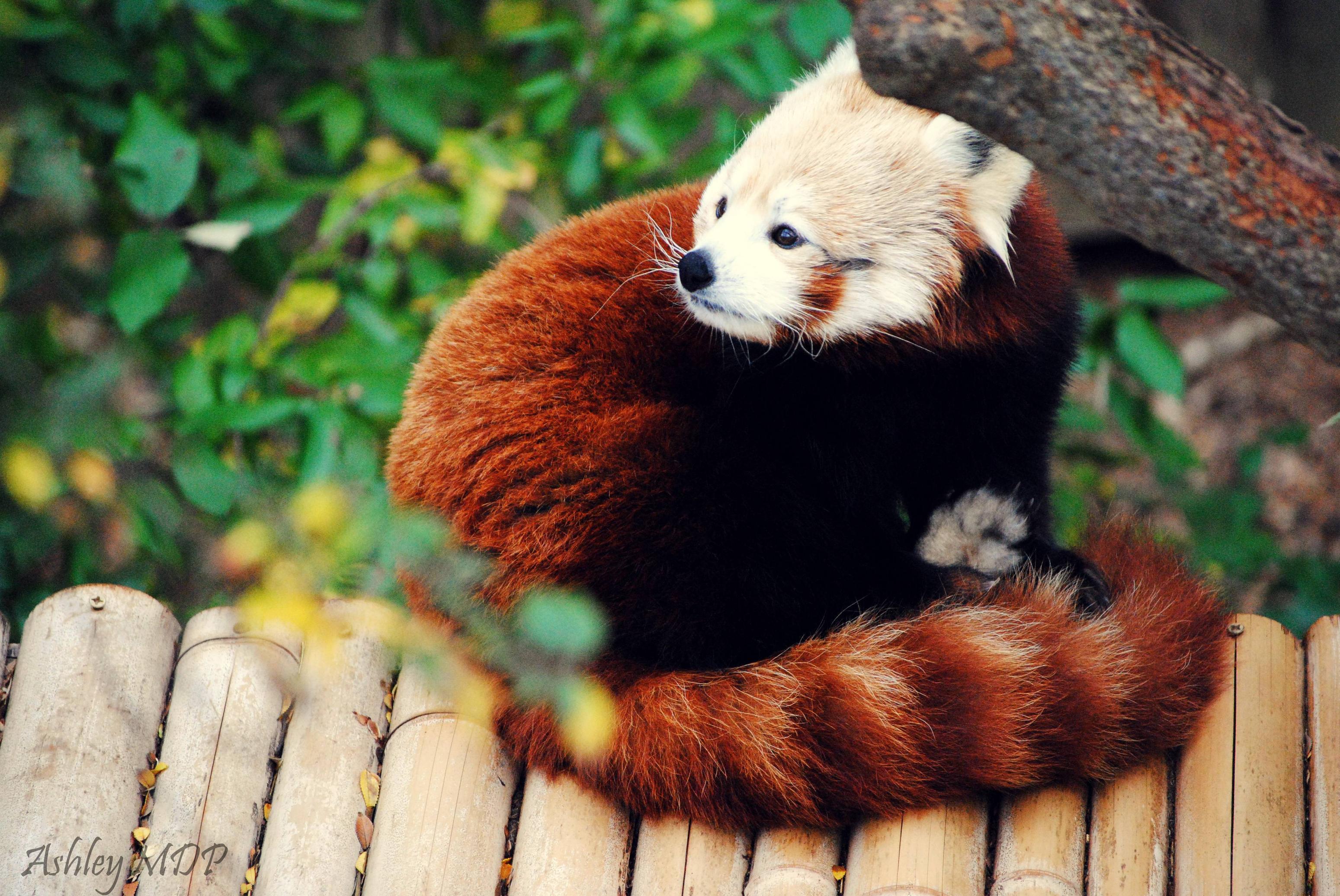 Red Panda Wallpapers - Wallpaper Cave | 3098 x 2074 jpeg 936kB