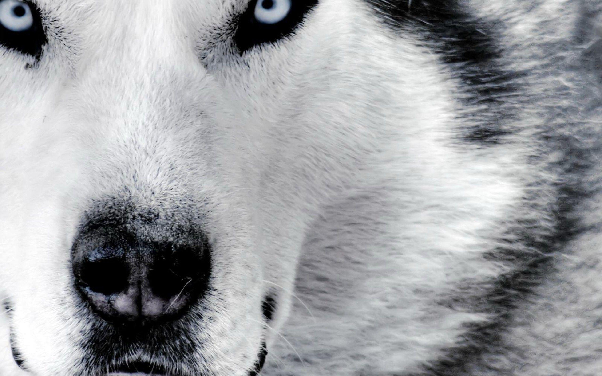 Free HD Wolf Wallpapers